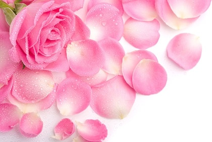 stock photo of pink rose petals