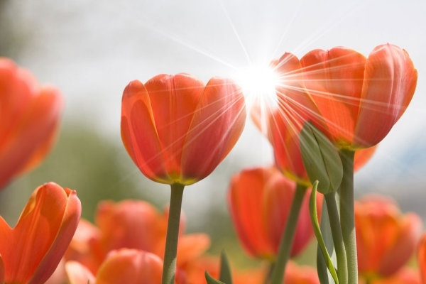 stock photo of tulips 03 hd picture