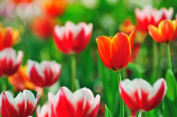 stock photo of tulips 05 hd picture