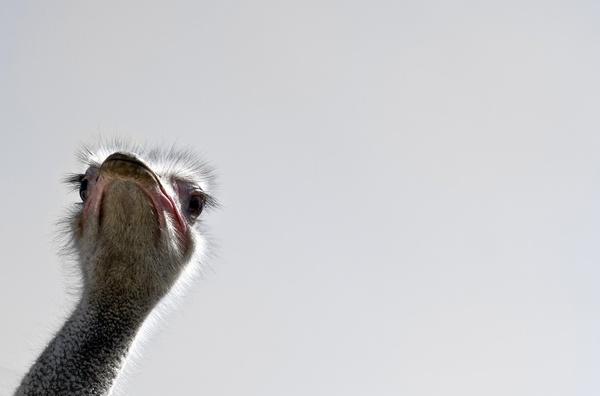 strauss bird flightless bird