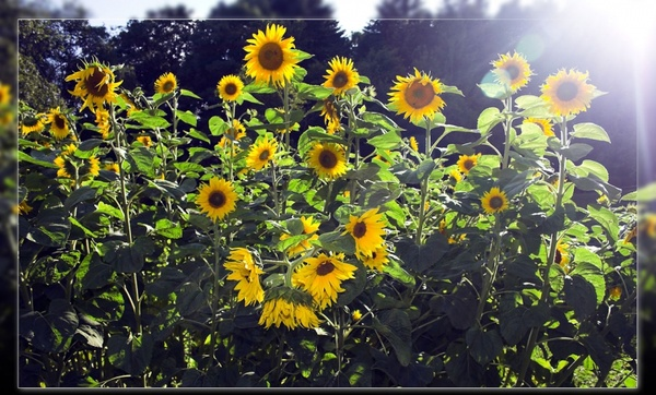 Sunflower Free Stock Photos Download 258 Free Stock