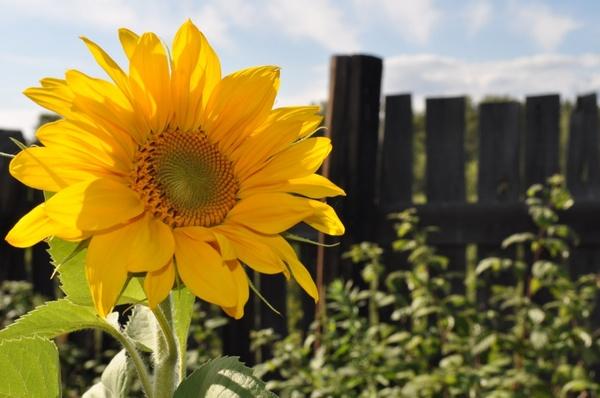 Sunflower Vase Painting