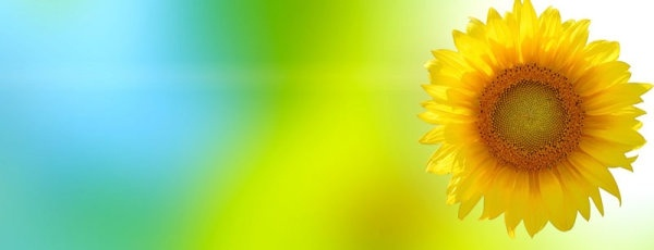 sunflower background hd picture