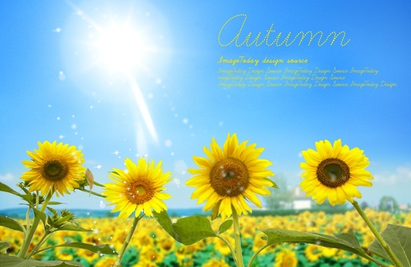 sunflower psd layered