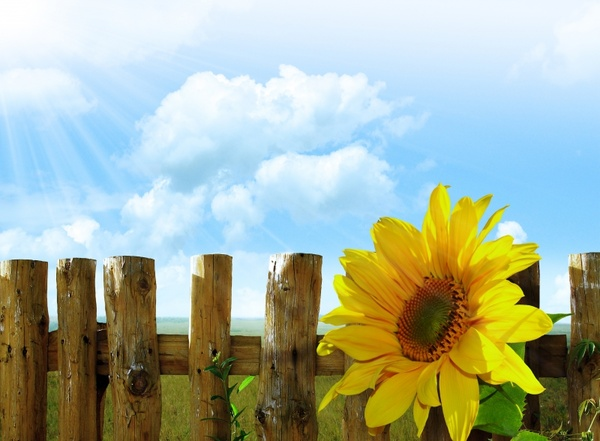 sunflowers flowers sky