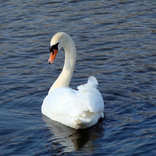 swan beauty nature