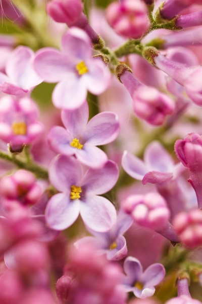 syringa flowers