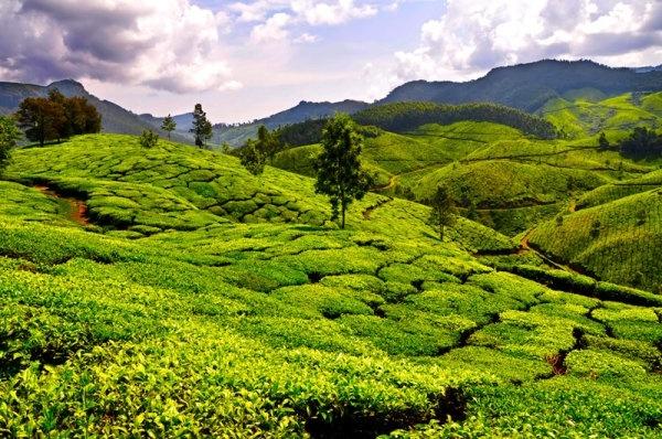 tea garden landscape hd pictures
