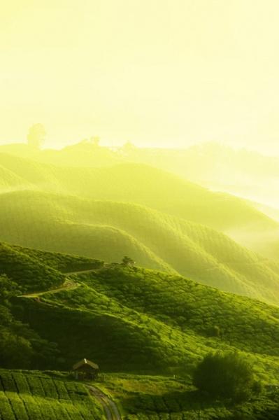 tea plantation landscape hd pictures