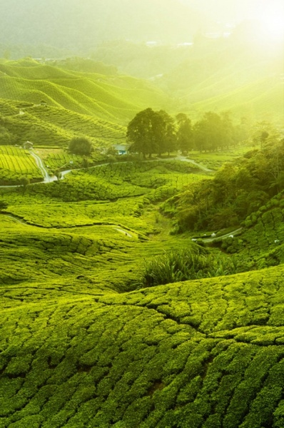 tea plantation landscape hd pictures