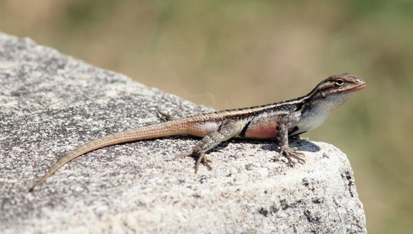 texas rose-bellied lizard rock macro