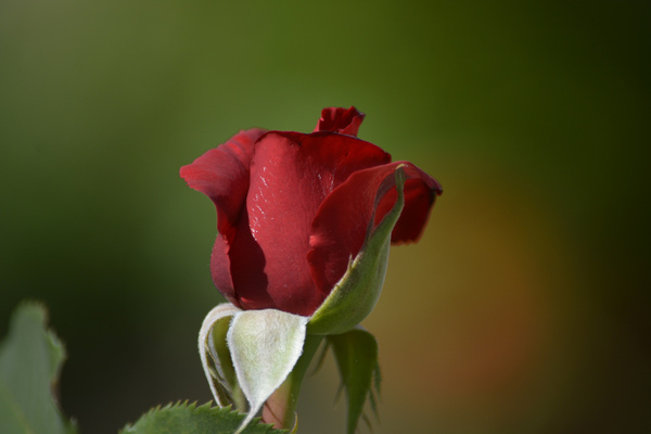 the romantic single red rose