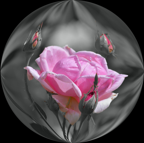the rose ball