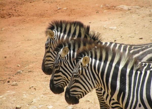 the three zebras