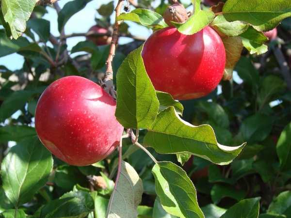 the two apples