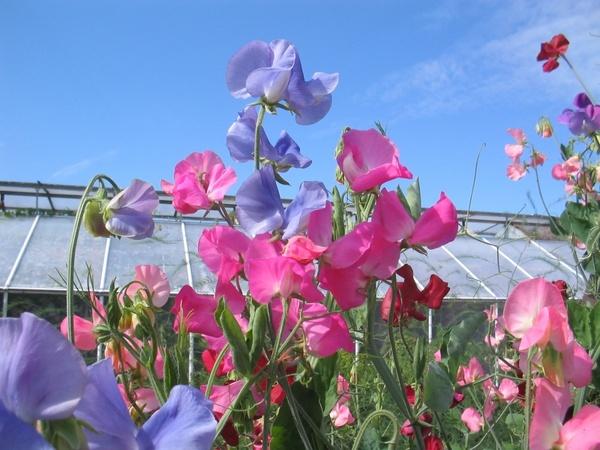 the valleys sweet pea flowers