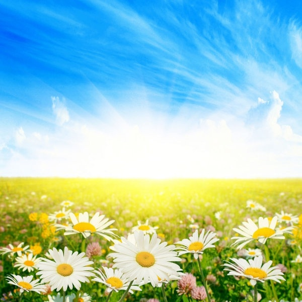 three highdefinition pictures of the wild chrysanthemum under the sun