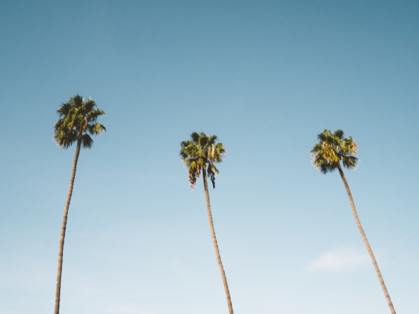 three tall isolated palm trees