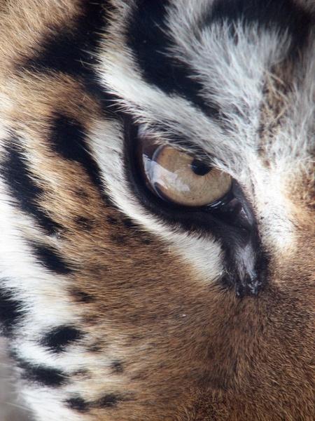 tiger eye siberian tiger