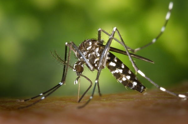 tiger mosquito mosquito asian tigerm�cke