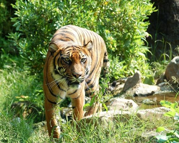 tiger sumatran tiger cat