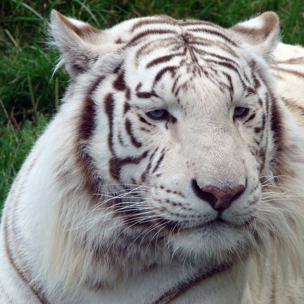 tiger white nature