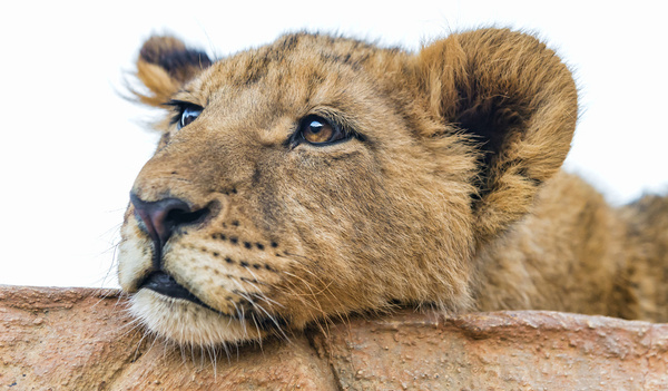 tired lion cub