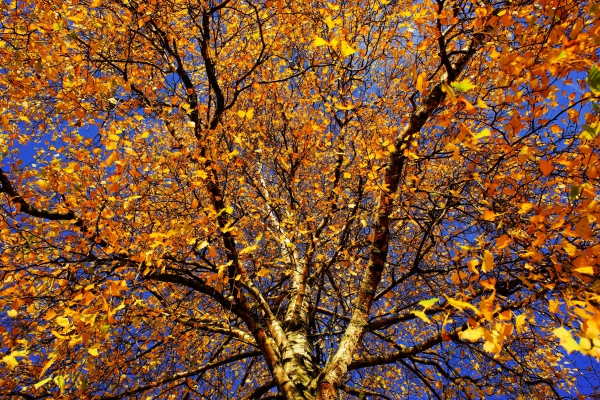 luxuriant yellow leaves on tree in autumn