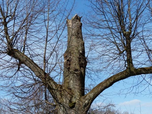 tree oak old