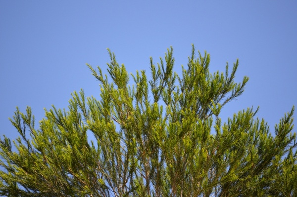 tree with clear blue sky