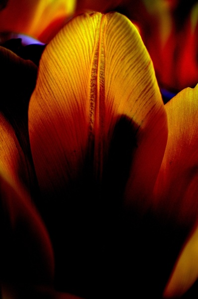 tulip bloom
