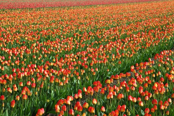tulip field background