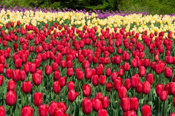 tulip flowers natural