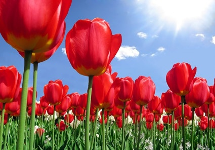 tulip garden stock photo