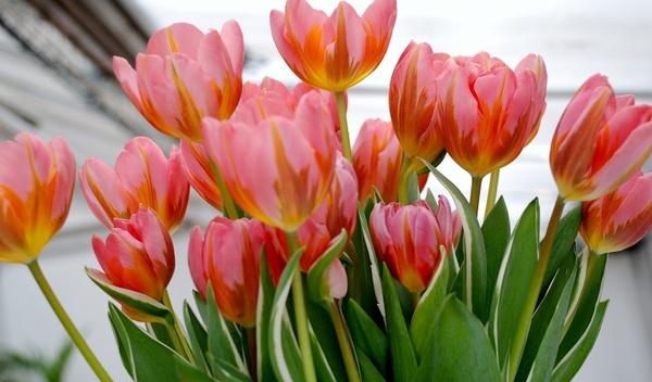 tulip tulips flower