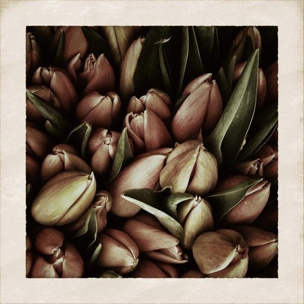 tulips flower tulip
