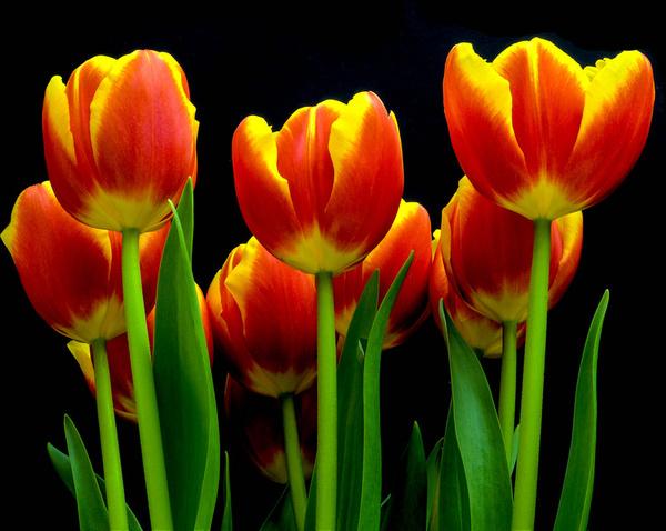 tulips too