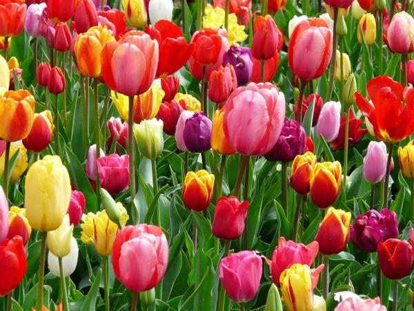 tulips tulip bed
