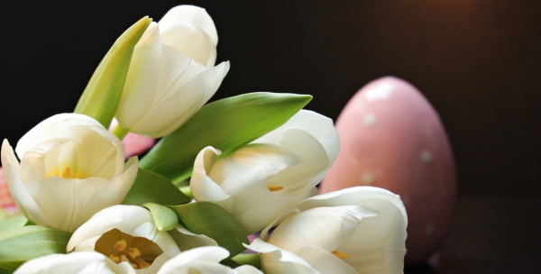 closeup of beautiful fresh white tulips