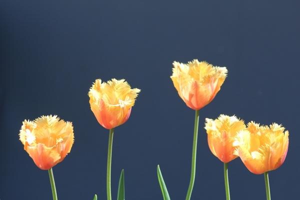 tulips yellow orange tulips yellow tulips