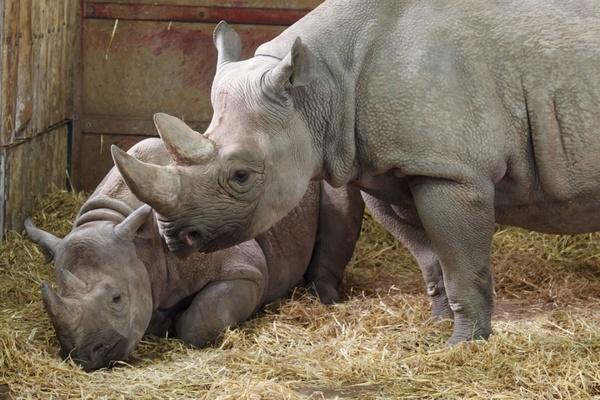 two black rhinos