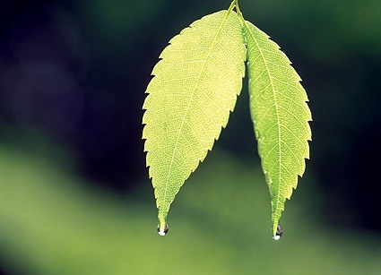 two leaves with water drops picture