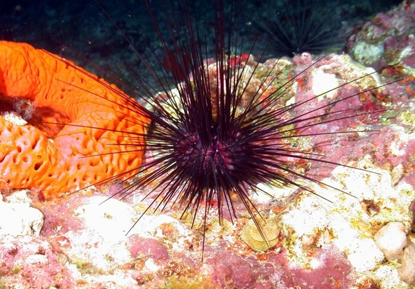 urchin sponge sea ocean