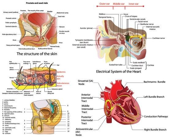 vector diagram of human organs
