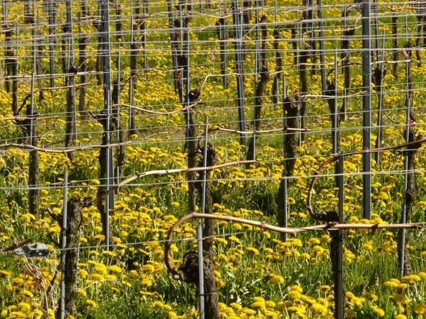 vineyard winegrowing vine