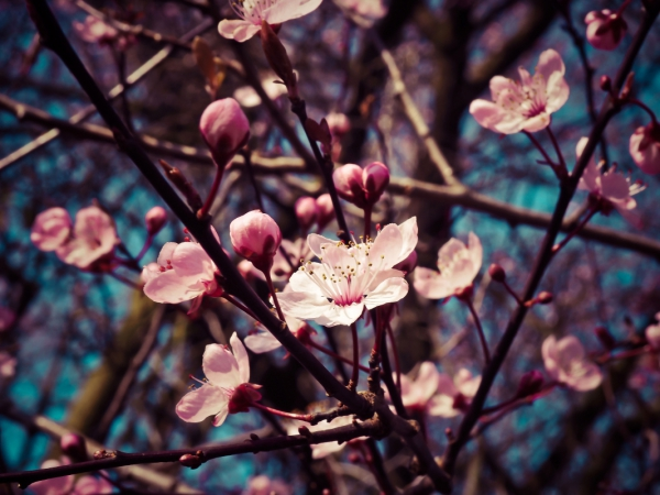 vivid color of cherry blossom or sakura flower on blue sky