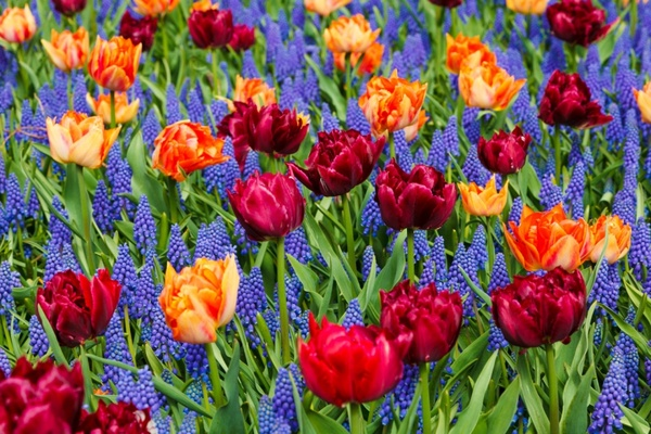 vivid tulips and grape hyacinths