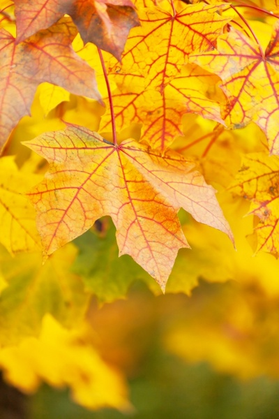 vivid yellow leaves