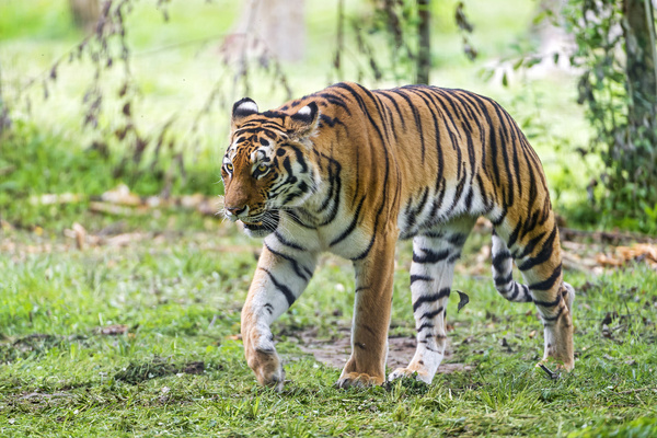 walking siberian tiger