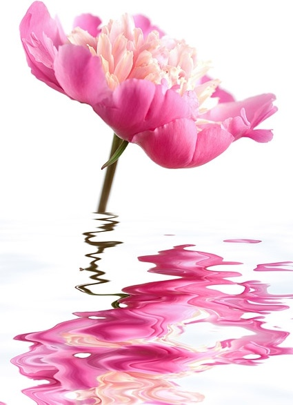 water pink flowers stock photo